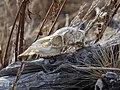 Animal Skull 164.jpg