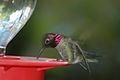 Anna's Hummingbird drinking 2005-12-09.JPG