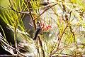 Anna's hummingbird (48076013068).jpg