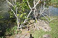 Annona glabra 12zz.jpg