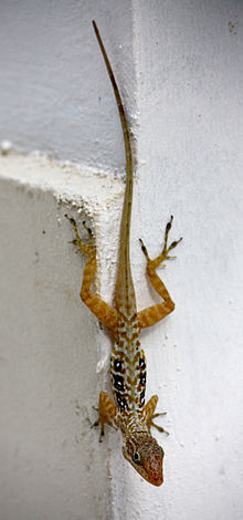 Anolis oculatus at Coulibistrie-a01.jpg
