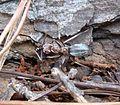 Anoplolepis custodiens, met prooi, a, Krugersdorp.jpg