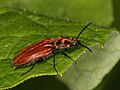 Anostirus purpureus (Elateridae), ♀.jpg