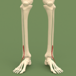 Anterior compartment of leg - Fibularis tertius.png