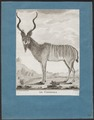 Antilope kudu - 1700-1880 - Print - Iconographia Zoologica - Special Collections University of Amsterdam - UBA01 IZ21400147.tif