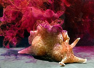 Anaspidea - Aplysia californica, a typical sea hare displaying inking behavior