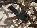 Apodiformes - Campylopterus ensipennis - 1.jpg