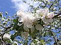 Apple priapple tree flower.JPG