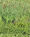 Aramus guarauna (Limpkin) 01.jpg