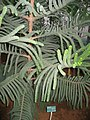 Araucaria Muelleri.Serres d'Auteuil 001.jpg