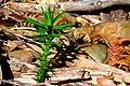 Araucaria araucana - araucarita.jpg