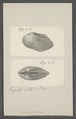 Arca modiolina - - Print - Iconographia Zoologica - Special Collections University of Amsterdam - UBAINV0274 076 04 0028.tif