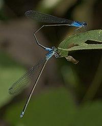 Archibasis oscillans-Kadavoor-2016-07-03-007.jpg