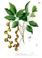 Archidendron scutiferum Blanco2.438.png