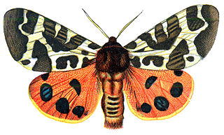 Arctiini Tribe of moths