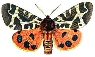 Arctiini (erebid moths) - Arctia caja