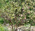 Arctostaphylos pringlei ssp drupacea 1.jpg