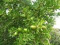 Argania spinosa.jpg