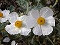 Argemone corymbosa flowers 2002-10-10.jpg