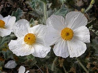 Argemone corymbosa - Image: Argemone corymbosa flowers 2002 10 10