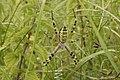 Argiope bruennichi (35214244313).jpg