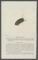 Armadillo laminatus - - Print - Iconographia Zoologica - Special Collections University of Amsterdam - UBAINV0274 098 09 0002.tif