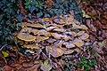 Armillaria mellea (48934163121).jpg