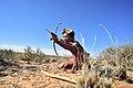 Arri Raats, Kalahari Khomani San Bushman, Boesmansrus camp, Northern Cape, South Africa (20352237439).jpg