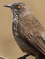 Arrow-marked Babbler, Turdoides jardineii, at Pilanesberg National Park, Northwest Province, South Africa (29681269305).jpg