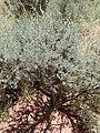 Artemisia tridentata kz22.jpg