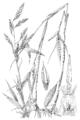 Arundinaria gigantea HC-1950.png