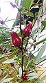 Arya - hibiscus sabdariffa in bulak Lor Jatibarang 2019.jpg