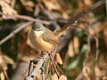Ashy Prinia- Hodal, Distt. Faridabad I IMG 8847.jpg