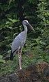 Asian Openbill Stork Anastomus oscitans by Vedant Kasambe 01.jpg