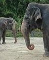 Asians Elephants of the Central Florida Zoo.jpg