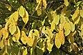 Asimina triloba (L.) Dunal JdP.jpg