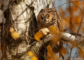 Long-eared owl species of bird