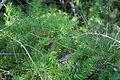 Asparagus aethiopicus fruit2 (11971199144).jpg