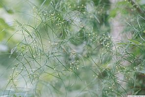 Asparagus verticillatus1Georgi Kunev.jpg