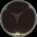Aspergillus niger - Wikipedia