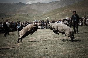 Ram fighting - Ram fight in Shahrisabz, Uzbekistan.