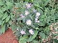 Asteraceae10.jpg