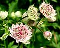 Astrantia major ENBLA10.jpg