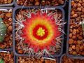 Astrophytum flowers 09.jpg