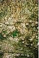 Atherosperma-bark-corterscreek-BrownsMt1996.jpg