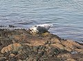 Atlantic Grey Seal - geograph.org.uk - 351116.jpg