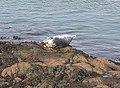 Atlantic Grey Seal - geograph.org.uk - 351116.jpg