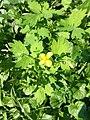 Atlas roslin pl Glistnik jaskółcze ziele 4013 8333.jpg