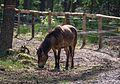 Augustdorf - 2016-05-21 - LIP-002 Exmoor-Ponys (014).jpg