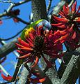 Australian Parrot Hence, Killers Tell A Hymn.jpg